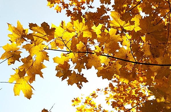 drzewa żółte liście