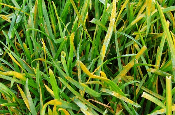 choroby trawnika rdza