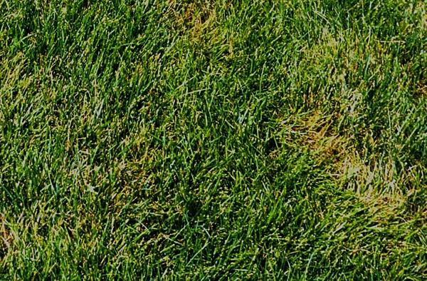 choroby trawnika rizoktonioza