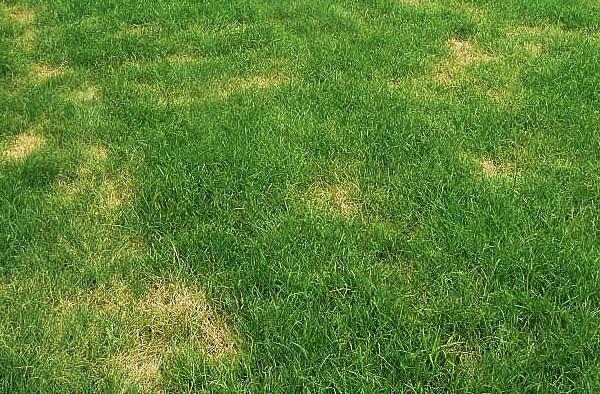 choroby trawnika zgorzel furazyjna