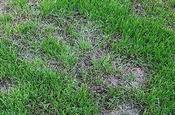 choroby trawnika zgorzel siewek