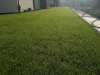 trawnik z rolki po 2 tygodniach