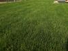 trawnik z rolki po 2 tygodniach2