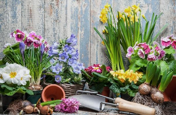 wiosna w ogrodzie cebulowe