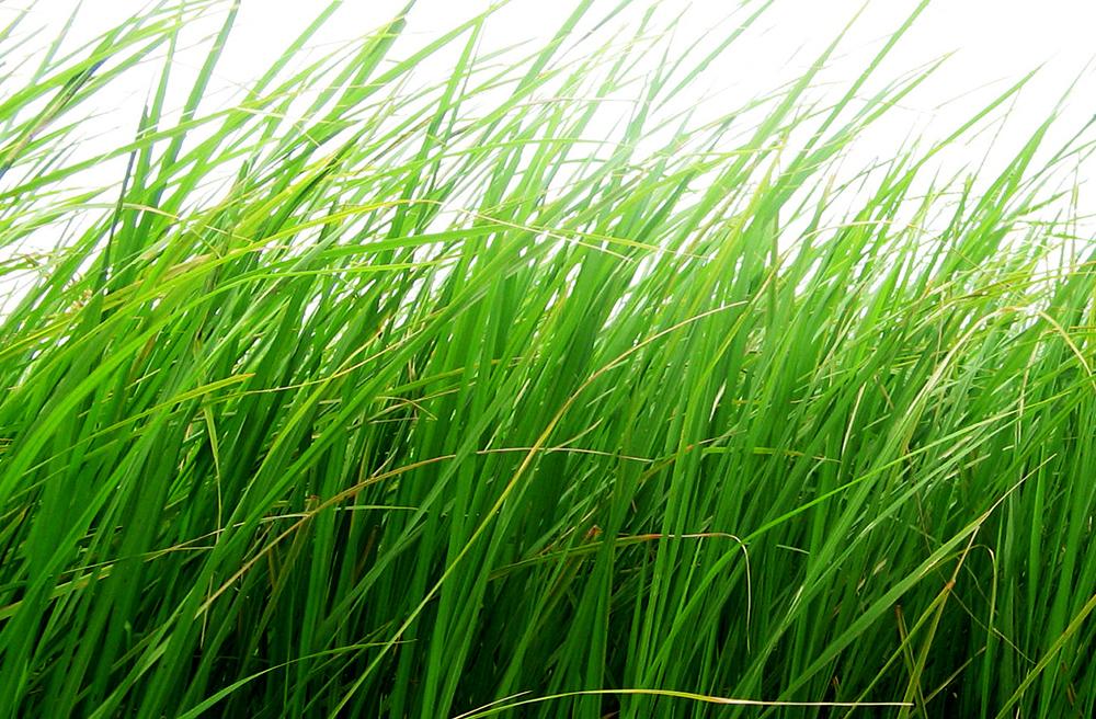 Zakładanie trawnika - wybór mieszanki traw