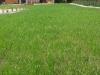 profesjonalne zakładanie ogrodu- trawnik przed pierwszym koszeniem