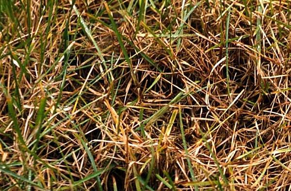 choroby trawnika brunatna plamistość
