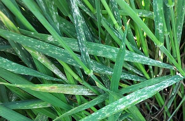 choroby trawnika mączniak