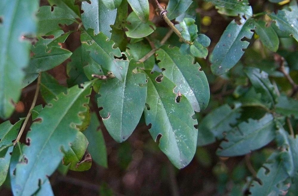 opuchlaki: chrząszcz opuchlak obgryzione liście